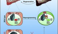 研究揭示损伤再生中肝细胞可塑性的分子基础