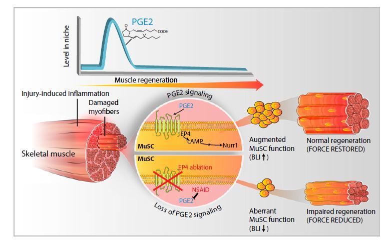 炎症意料之外的作用——促进肌肉干细胞再生
