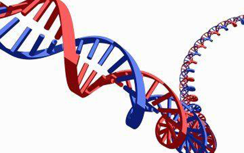 被改造的大肠杆菌细胞仍继续生长