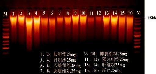 动物组织,细胞基因组dna提取试剂盒