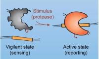 让CRISPR系统更安全 研究人员为Cas9蛋白装上开关