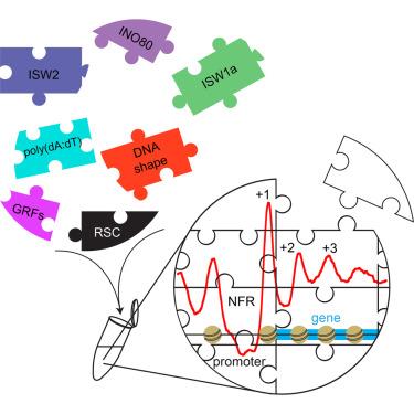 蛋白重建了核小体的结构