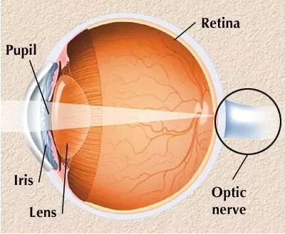 眼球的解剖学结构-Nature子刊 再生神经细胞,有望治愈青光眼