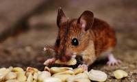 投敌叛变!肠道菌群联合高脂肪饮食共同抵制胰岛素
