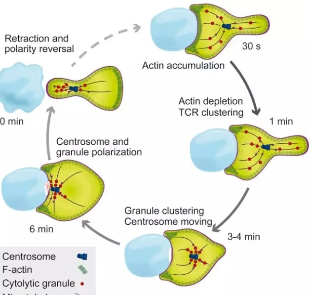 当细胞毒性t细胞发现一个被感染的细胞