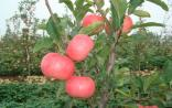 青岛农科院科研苹果新品种一夜被偷光 损失上亿
