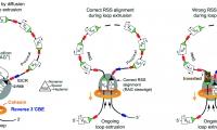 Nature:免疫系统是怎样产生抗体库的呢?一起了解最新机制