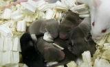 Science新闻:太空冷冻小鼠精子产出健康幼仔