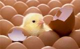 关于鸡蛋的知识:怎么存放?每天不能吃超过一个?