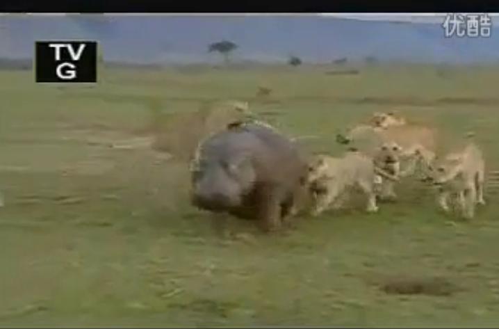 母河马被狮子群猎杀