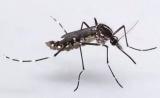 控制蚊媒疾病传播见曙光,数学模型也可以有大用处