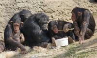 丹麦科学家研究表明:人类的基因突变率慢于其他类人猿