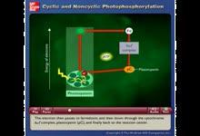 Cyclic and Noncyclic Photophosphorylation-周期性的和非周期性的光合作用