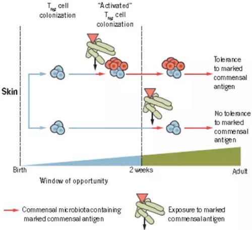 出生小鼠皮肤上t细胞的定殖