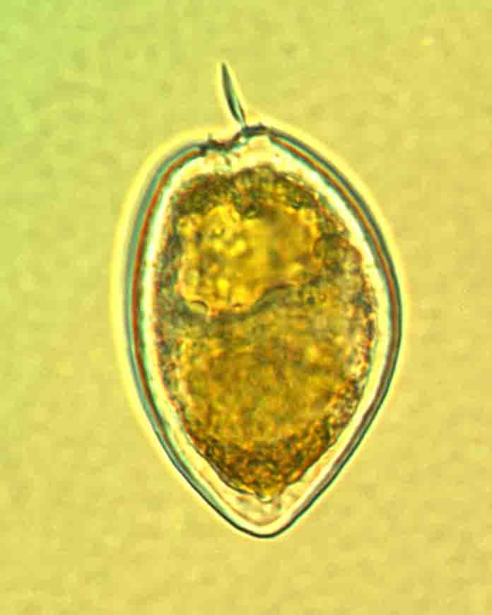 海洋原甲藻
