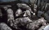 对猪使用抗生素,人类收获耐药性基因?