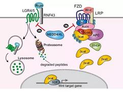 EMBO J:如何抑制肠道良性肿瘤癌变?科学家发现两个关键抑癌基因!