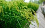 我成功克隆水稻多个功能基因