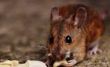 小鼠试验力证:肠道微生物与肥胖有关系 | Nature子刊