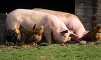 Science重磅:吃下定时炸弹!你吃的可能不是肉,而是抗生素