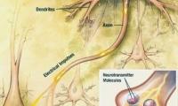 PNAS:抓住这个蛋白质!延长记忆的保质期就靠它了……