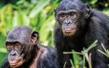 Nature:种的概念要改写了,黑猩猩进化中多次跨物种杂交