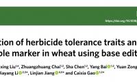 单碱基修改小麦基因组,引入优良性状