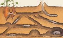 Nature:研究发现裸鼹鼠不会得癌症的秘密
