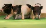 杨璐菡团队Science发文:CRISPR编辑猪,突破异种移植难题!