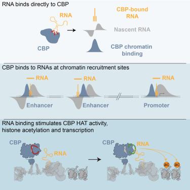 活性染色质在生化上的主要特征-