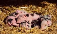 农业农村部:兽用生物制品将全面开展非洲猪瘟病毒核酸检测