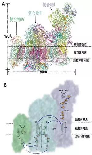 该结构是目前所解析的最复杂的非对称性膜蛋白超级分子机器的结构(图a
