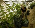 """""""黄瓜危机""""致西班牙蔬果业损失1.5亿欧元"""