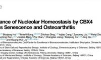 """中国学者发现人干细胞""""年轻因子"""",有助于骨关节炎治疗"""