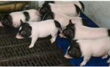 中国科学家培育出基因编辑瘦肉猪,比正常猪脂肪少24%