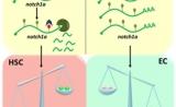 最新Nature!中科院首次揭示m6A甲基化修饰在造血干细胞发育中的关键作用