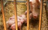 《卫报》:英国的基因组编辑猪将在5到10年商业化