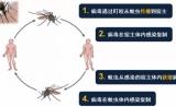 清华程功团队揭示:蚊虫对病毒易感的分子机制