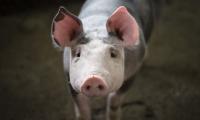 Cell子刊:人类能否战胜糖尿病?这方面可能要向猪学学了!