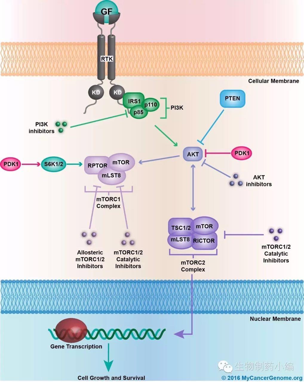 荧光素酶报告基因步骤