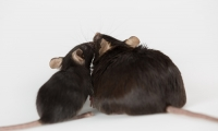 胖能毁三代!母亲肥胖会增加后代患肝癌的几率