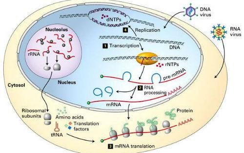 多细胞生物在细胞分裂之时进行生长