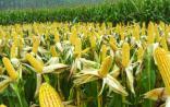 最新消息!中国转基因水稻玉米重获农业部安全证书