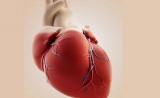 Nature:心肌细胞为何不能再生?科学家找到关键通路