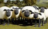 新惊喜!绵羊能识别人脸,或有助于研究亨廷顿氏舞蹈症等疾病