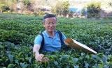 茶叶不同风味何处来:中国科学家全球首次解析茶树基因组