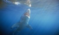 大白鲨是如何获得抗癌能力的?全基因组破译发现进化机制