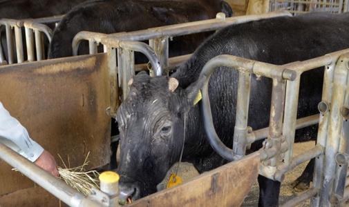 世界第一头体细胞克隆牛去世