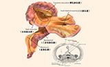 """《柳叶刀》子刊:你的身体有了一个""""新器官"""""""