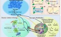 青岛能源所针对蓝细菌合成生物学研究发表综述文章